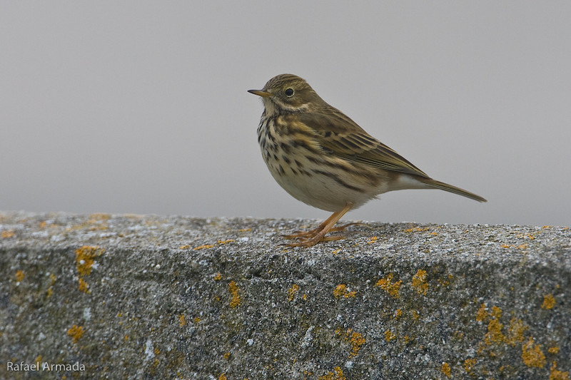Meadow Pipit (Anthus pratensis).<br /> Sein Island (Bretagne, France), October 2009.<br /> Esp: Bisbita común<br /> Cat: Titella