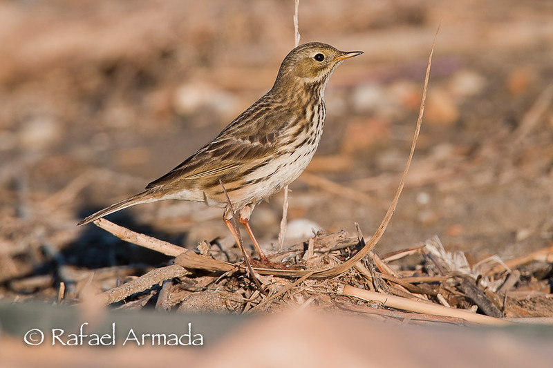 Meadow Pipit (Anthus pratensis).<br /> Ebre delta (Tarragona, Catalonia, Spain), January 2005.<br /> Esp: Bisbita común<br /> Cat: Titella