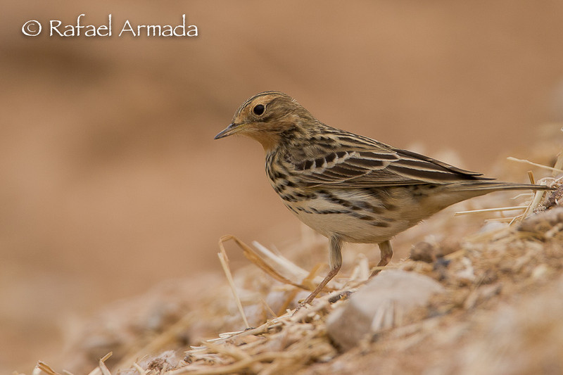 Red-throated Pipit (Anthus cervinus).<br /> Eilat (Israel), April 2006.<br /> Esp: Bisbita gorjirrojo<br /> Cat: Piula gola-roja