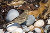 Rock Pipit (Anthus petrosus).<br /> Sein Island (Bretagne, France), October 2009.<br /> Esp: Bisbita costero<br /> Cat: Grasset de costa