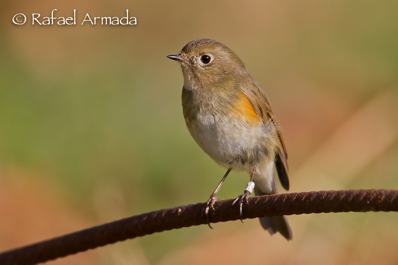 Red-flanked Bluetail (Tarsiger cyanurus).