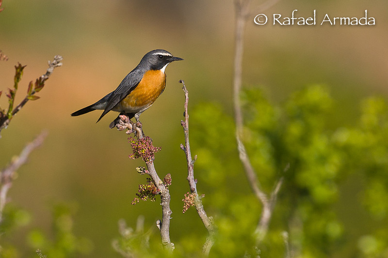 White-throated Robin (Irania gutturalis), Male. Gaziantep (Turkey), May 2008.