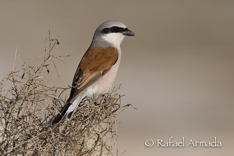Red-backed Shrike (Lanius collurio collurio). Kulu Golü (Turkey), may 2008.<br /> Esp: Alcaudón dorsirrojo