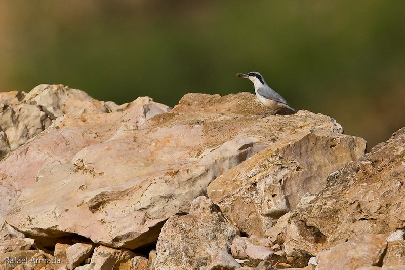 Eastern Rock Nuthatch (Sitta tephronota). Gaziantep (Turkey), May 2008.