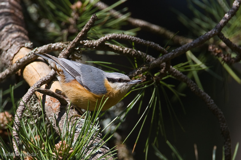European Nuthatch (Sitta europaea caesia). Bursa (Turkey), May 2008.