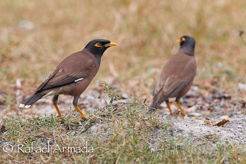 Common Myna (Acridotheres tristis).<br /> Corbett NP (India), November 2010.
