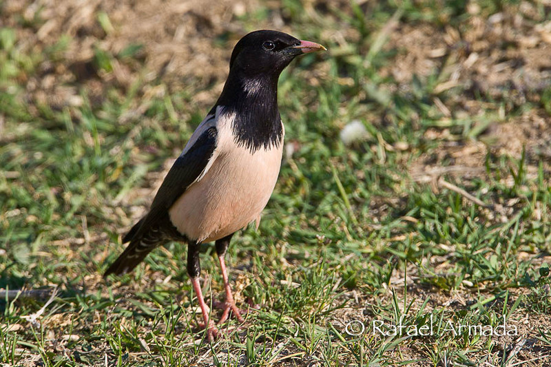 Rose-Coloured Starling (Sturnus roseus), Adult.<br /> Kulu Gölü (Turkey), May 2008.<br /> Esp: Estornino rosado<br /> Cat: Estornell rosat