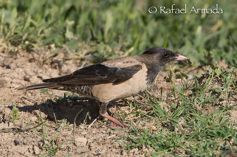 Rose-Coloured Starling (Sturnus roseus), 1st Summer.<br /> Kulu Gölü (Turkey), May 2008.<br /> Esp: Estornino rosado<br /> Cat: Estornell rosat