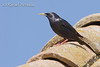 Spotless Starling (Sturnus unicolor), Male.<br /> Ebre delta (Tarragona, Catalonia, Spain), April 2006.<br /> Esp: Estornino negro<br /> Cat: Estornell negre