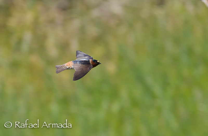 Cliff Swallow (Petrochelidon pyrrhonota).<br /> California (USA), April 2009.