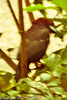 A Silver-beaked Tanager taken Jun. 27, 2012 in Salt Lake City, UT.