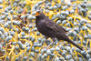 Blackbird (Turdus merula).<br /> Garachico (Tenerife, Canary Islands, Spain), February 2008.<br /> Esp: Mirlo común<br /> Cat: Merla