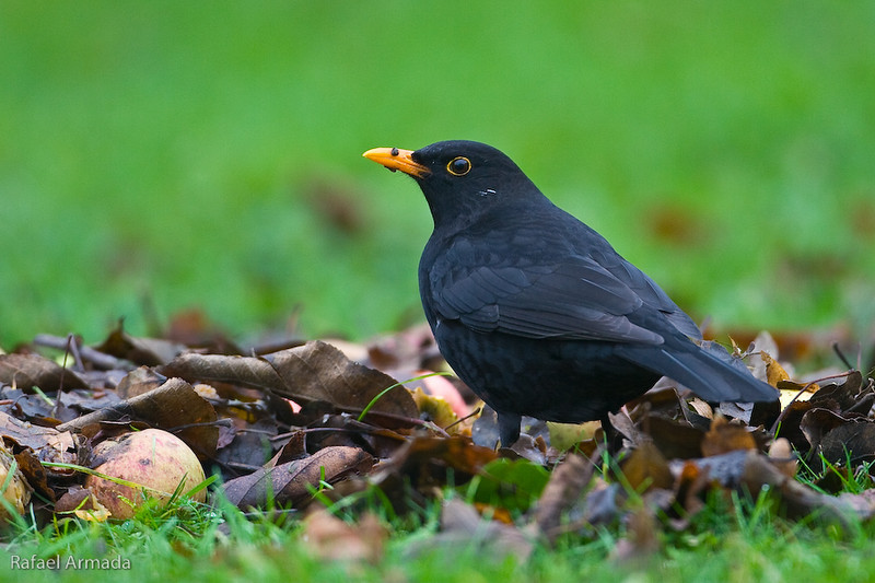 Blackbird (Turdus merula), Adult Male.<br /> Wotton-under-edge (Glos., England, UK), December 2006.<br /> Esp: Mirlo común<br /> Cat: Merla
