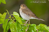 Swainson's Thrush (Catharus ustulatus).<br /> Magee Marshes (Ohio, USA), May 2010.