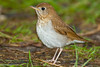 Veery (Catharus fusfescens).<br /> Magee Marshes (Ohio, USA), May 2010.