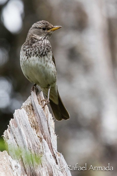 Black-throated Thrush (Turdus atrogularis), female.