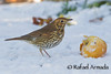 Song Thrush (Turdus philomelos).<br /> Wotton-under-edge (Glos., England, UK), December 2010.<br /> Esp: Zorzal común<br /> Cat: Tord comú