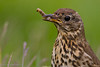 Song Thrush (Turdus philomelos).<br /> Lochinver (Scotland, UK), June 2006.<br /> Esp: Zorzal común<br /> Cat: Tord comú