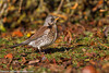Fieldfare (Turdus pilaris).<br /> Wotton-under-edge (Glos., England), December 2010.<br /> Esp: Zorzal real<br /> Cat: Griva cerdana