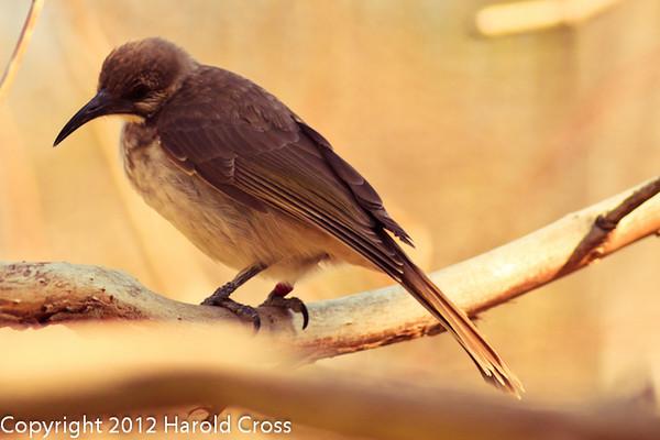 A Grey-breasted Babbler taken Feb. 20, 2012 in Tucson, AZ.