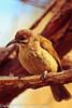 A Grey-breasted Babbler taken Feb. 25, 2012 in Tucson, AZ.