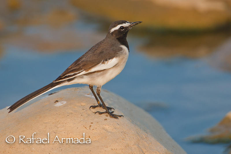 White-browed Wagtail (Motacilla maderaspatensis). Corbett NP (India), november 2011.