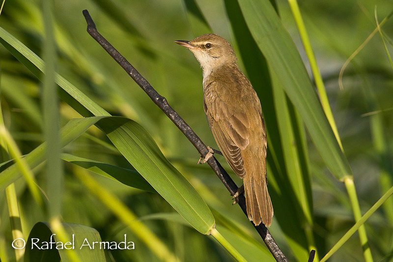 Great Reed Warbler (Acrocephalus arundinaceus).<br /> Birecik (Turkey), May 2008.<br /> Esp: Carricero tordal<br /> Cat: Balquer