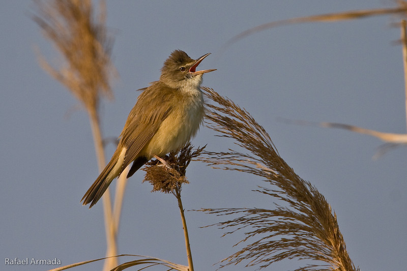 Great Reed Warbler (Acrocephalus arundinaceus).<br /> Ebre delta (Tarragona, Catalonia, Spain), April 2006.<br /> Esp: Carricero tordal<br /> Cat: Balquer