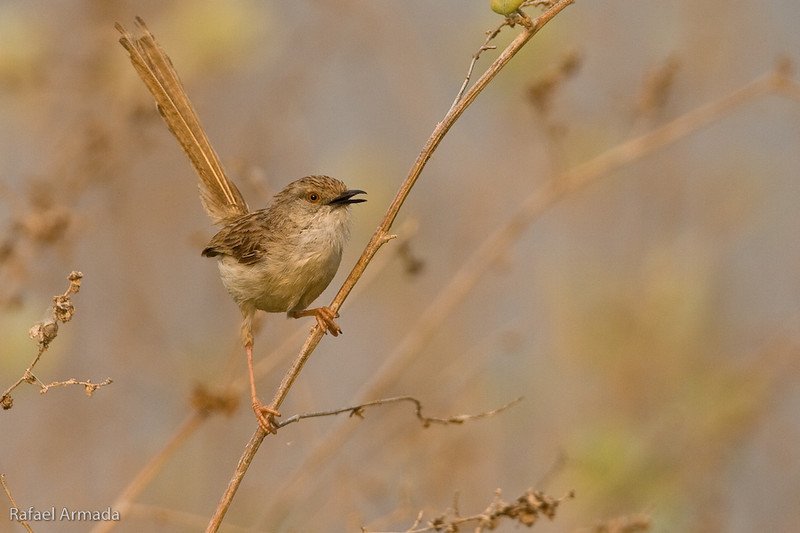 Graceful Prinia (Prinia gracilis). Bet Shean (Israel), April 2006.