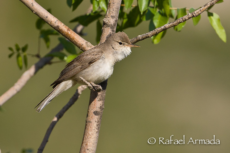 Upcher's Warbler (Hippolais languida). Gaziantep (Turkey). May 2008.<br /> Esp: Zarcero de Upcher<br /> Cat: Bosqueta d'Upcher
