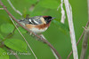 Bay-breasted Warbler (Dendroica castanea), Male.<br /> Magee Marshes (Ohio, USA) May 2010.