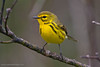 Prairie Warbler (Dendroica discolor). Cape May (New Jersey, USA) May 2010.