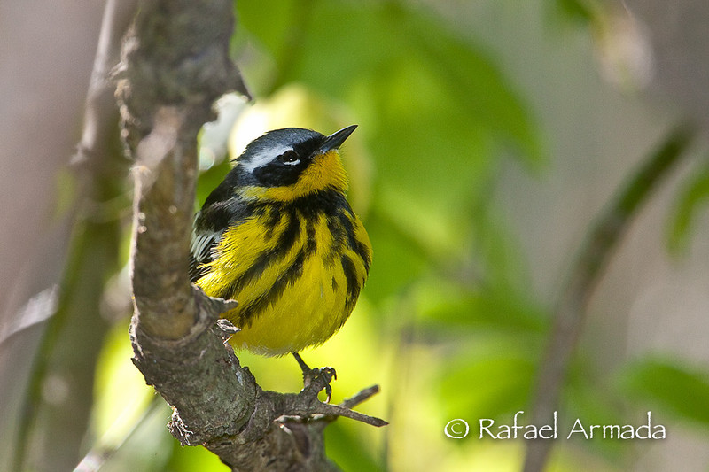 Magnolia Warbler (Setophaga magnolia), Male.<br /> Magee Marshes (Ohio, USA), May 2010.
