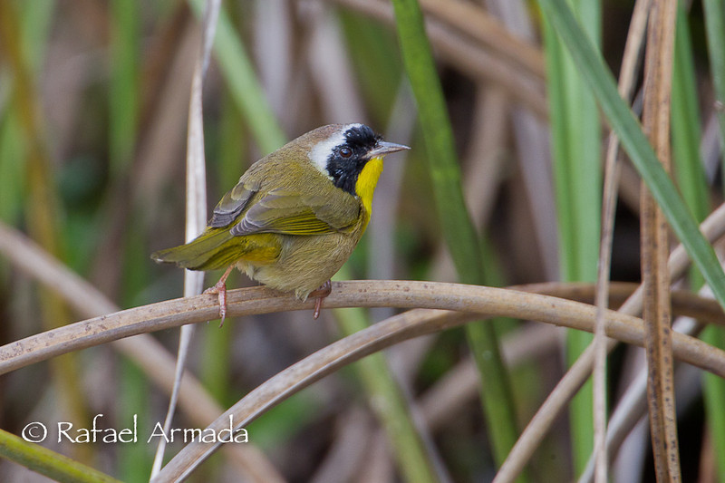 Common Yellowthroat (Geothlypis trichas), Adult Male. Everglades NP (Florida, USA), March 2011.