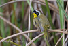 Common Yellowthroat (Geothlypis trichas), Adult Male.