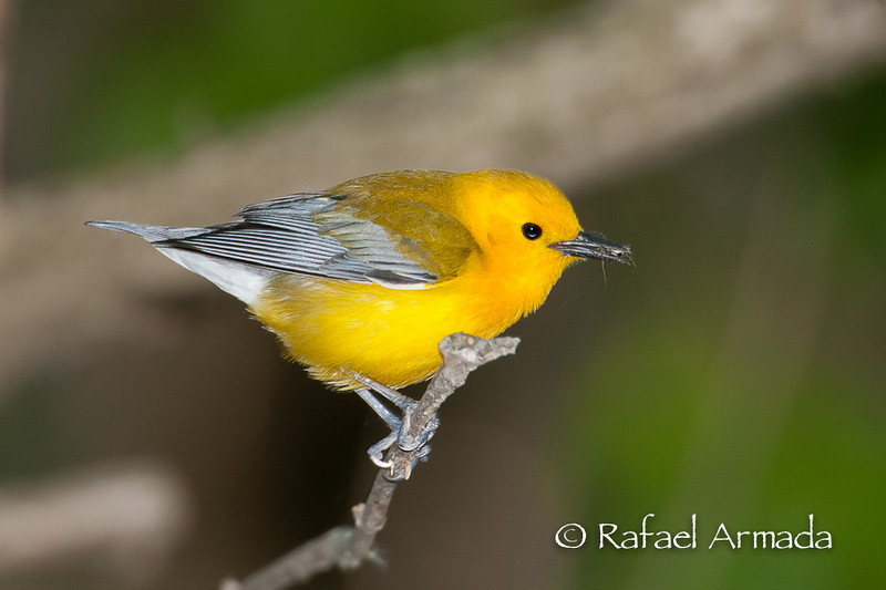 Prothonotary Warbler (Protonotaria citrea), Adult Male.<br /> Magee Marshes (Ohio, USA), May 2010