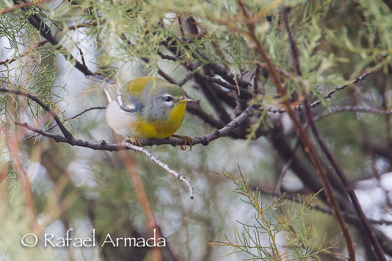 Northern Parula (Setophaga americana), 1st Winter Male<br /> Corvo Island (Azores, Portugal), October 2013