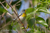 Northern Parula (Setophaga americana).<br /> South Padre Island (Texas, USA), March 2012.<br /> Esp: Parula americana