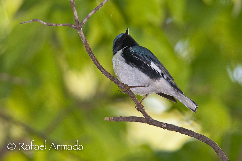 Black-throated Blue Warbler (Setophaga caerulescens), Male.<br /> Magee Marshes (Ohio, USA) May 2010.