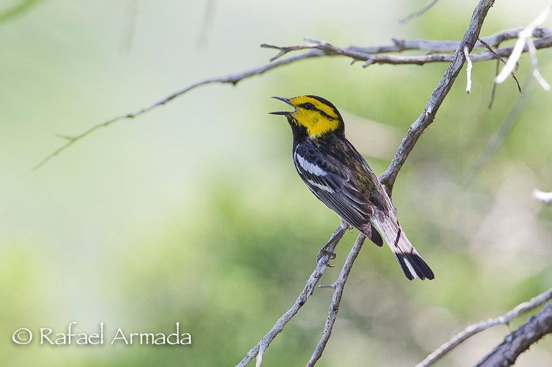 Golden-cheeked Warbler (Setophaga chrysoparia), Male.<br /> Garner State Park (Texas, USA), April 2012.