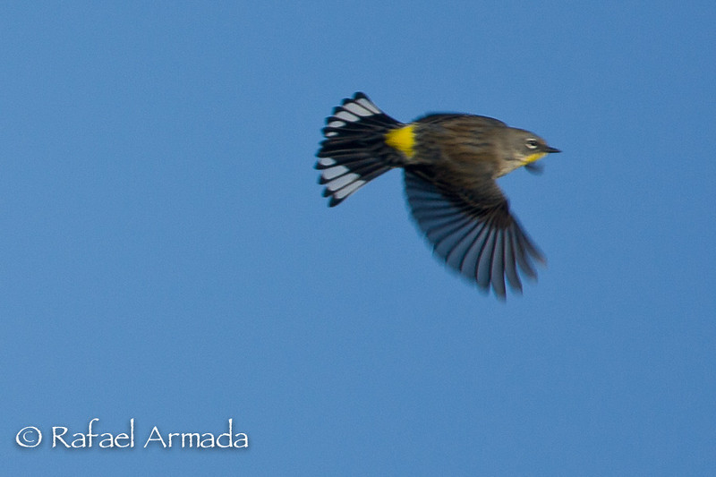 Yellow-rumped Warbler (Setophaga coronata).<br /> Nevada (USA), April 2009.