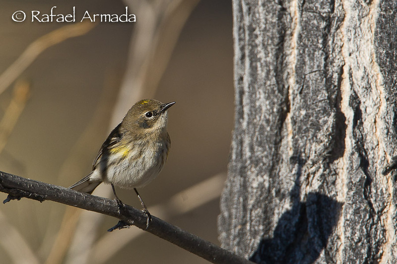 Yellow-rumped Warbler (Setophaga coronata), female. Nevada (USA), April 2009.