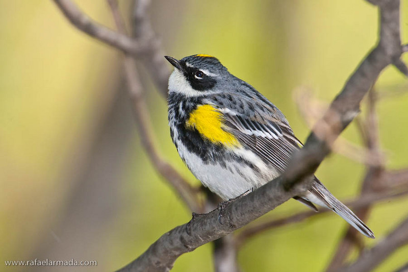 Yellow-rumped Warbler (Setophaga coronata), Male. Magee Marshes (Ohio, USA) May 2010.