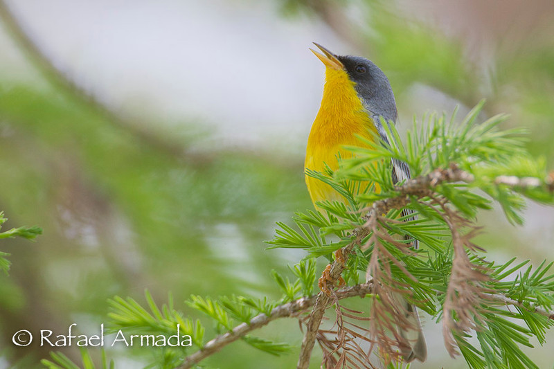 Tropical Parula (Setophaga pitiayumi).<br /> Neal's Lodge (Uvalde, Texas, USA), April 2012.