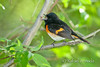 American Redstart (Setophaga ruticilla), Male.<br /> Magee Marshes (Ohio, USA) May 2010.