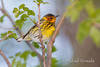 Cape May Warbler (Setophaga tigrina), Male.<br /> Magee Marshes (Ohio, USA) May 2010.