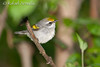 Golden-winged Warbler (Vermivora chrysoptera), Male.
