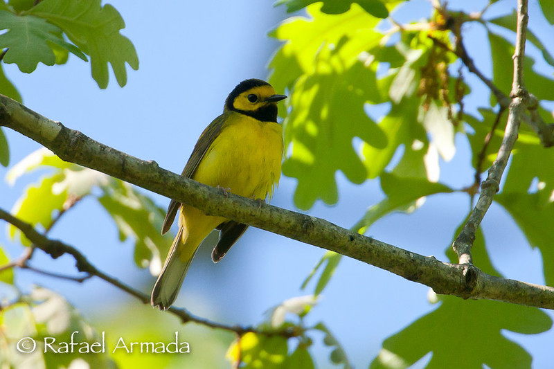 Hooded Warbler (Wilsonia citrina).<br /> Cape May (New Jersey, USA), May 2009.