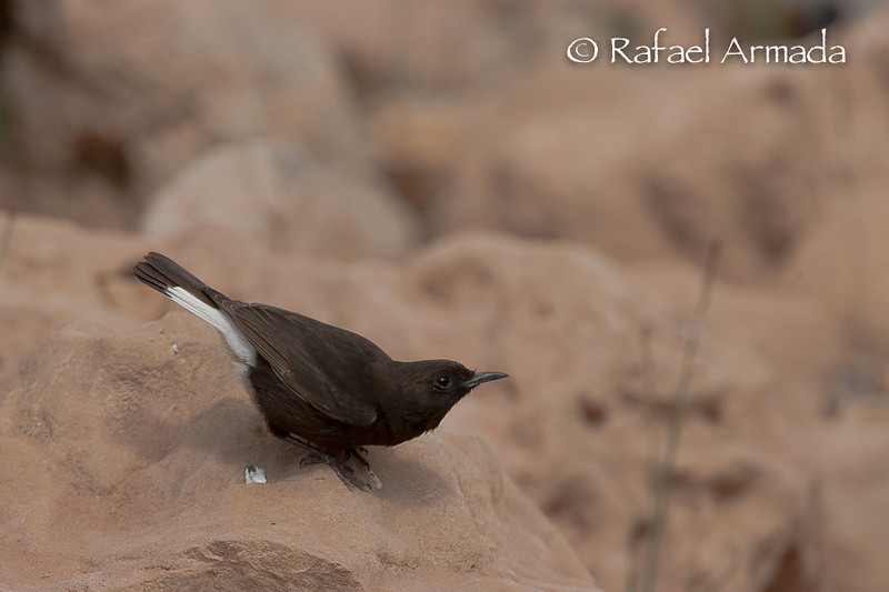 Black Wheatear (Oenanthe leucura), Adult.<br /> Souss Valley (Morocco), April 2007.<br /> Esp: Collalba negra<br /> Cat: Còlit negre