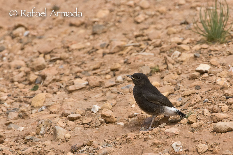 Black Wheatear (Oenanthe leucura), Juvenile.<br /> Souss Valley (Morocco), April 2007.<br /> Esp: Collalba negra<br /> Cat: Còlit negre